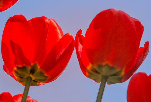 Nature, Flower, Tulip, Plant, Bright, Red, Blue, Sky