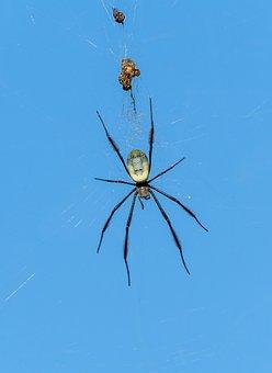 Nephila Fenestrata Spider, Spider, Web, Insect, Nature