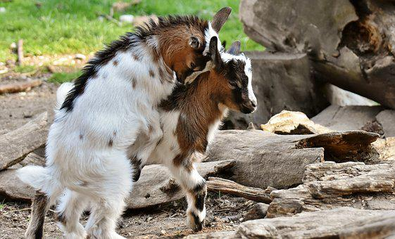 Goats, Young Animals, Playful, Romp, Cute, Small, Young