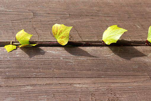 Ivy, Creeper, Young Leaves, Spring, Nature, Leaf