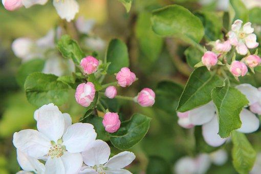 Flowers Of Apple Tree, Apple Tree Flowers, Apple