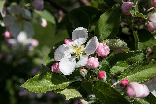 Apple Blossoms, Flowers, Apple Tree