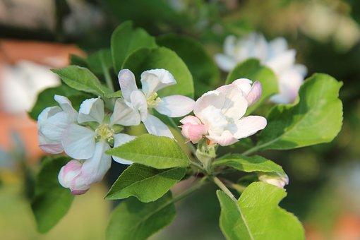Apple, Flowers Apple-tree, Spring-flowering, Spring