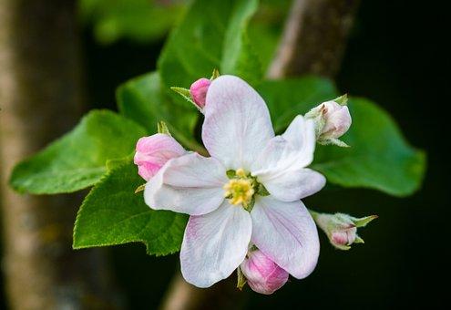 Flower, Nature, Plant, Leaf, Petal, Apple Tree