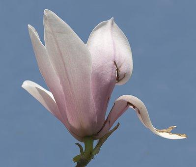 Magnolia, Blossom, Bloom, Tulip Magnolia, Ornamental