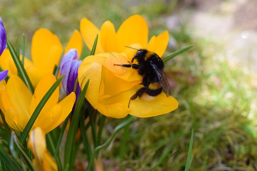 Nature, Flower, Insect, Plant, Spring, Hummel, Blossom