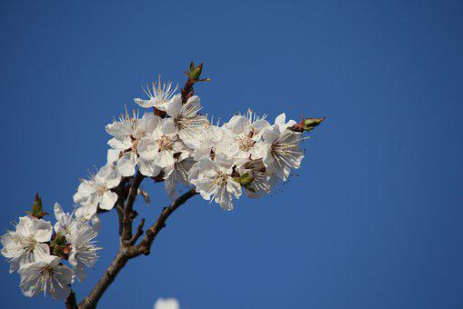 Flower, Tree, Blue Sky, Apricot