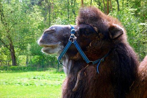Mammal, Camel, Dromedary, Animal, Animals, Wool, Nature