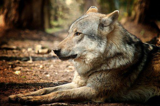Mammal, Wolf, Dog, Carnivores, Nature, Animal World