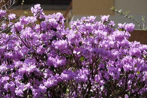 Double Rhododendron, Rhododendron Mocronulatum