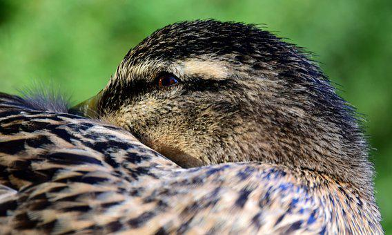 Duck, Mallard, Female, Head, Eye, Close, Break, Rest