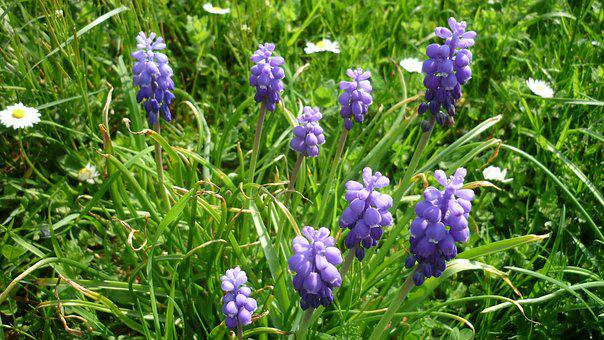 Grape Hyacinth, Flower, Grape-shaped, Blue