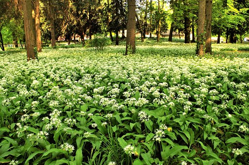 White Flowers, Forest Flower, Flowery Meadow