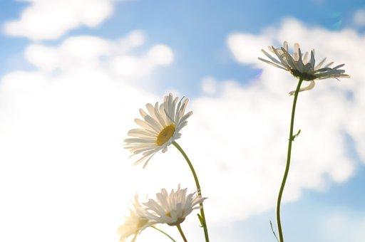 Flower, Flora, Nature, Summer, Growth, Daisy, Warm