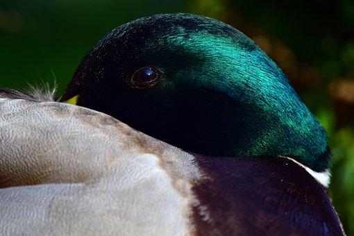 Duck, Mallard, Male, Head, Eye, Close, Break, Rest