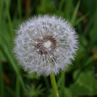 Dandelion, Macro, Common Dandelion, Flower Head, Close