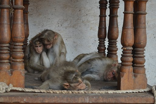 Wood, Monkeys In The Temple, Fauna, Living Nature