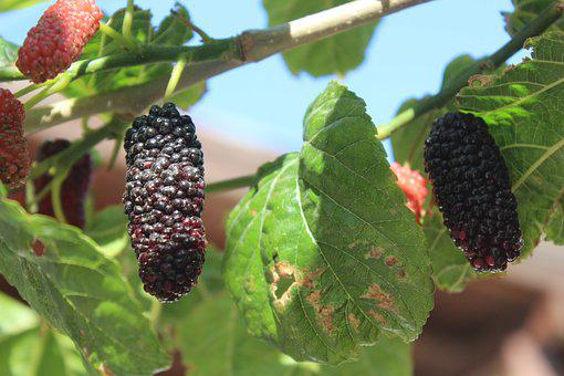 Fruit, Food, Leaves, Mulberry, Mulberry Leaf