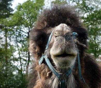 Mammal, Camel, Animal, Animals, Wool, Nature, Farm