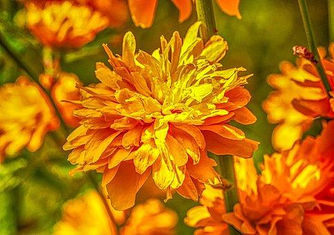 Flower, Nature, Ranunkel Shrub, Plant, Bush, Flowers