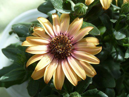 Margarite, Flower, Plant, Nature, Garden, Leaf, Green