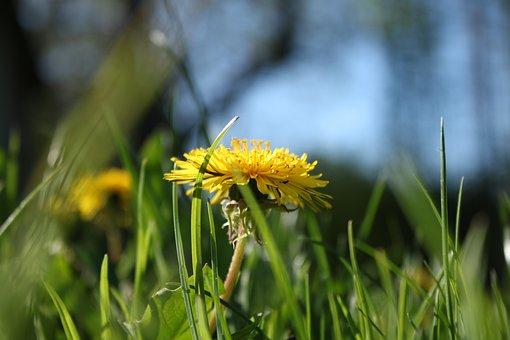 Nature, Plant, Lawn, Flower, Nuns, Dandelion, Spring