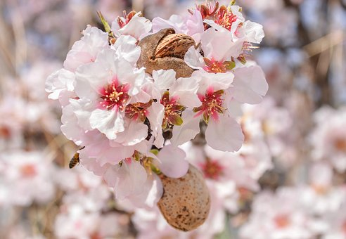 Flower, Almond, Branch, Nature, Season, Tree, Blooming
