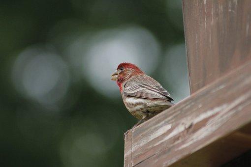 Bird, Nature, Wildlife, Outdoors, House Finch