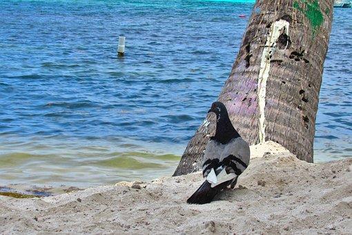 Pigeon, Sand, Sea, Water, Beach, Seashore, Ocean