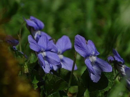 Violet, In The Grass, Macro, Flower, Purple