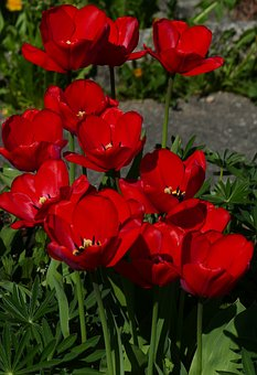 Nature, Flowers, Red, Spring