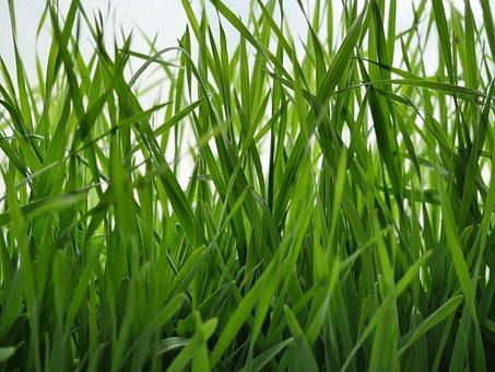 Nature, Grass, Shoots, Lawn, Plant, Sheet, Summer