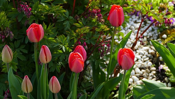 Nature, Flowers, Tulips, Spring