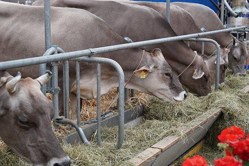 Cow, Eat, Stall, Hay, Agriculture, Farm, Cattle, Mammal