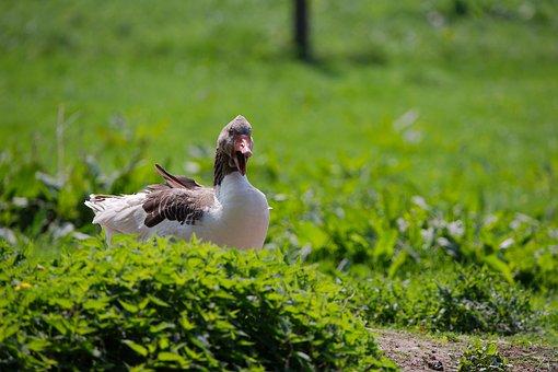 Nature, Grass, Bird, Animal, Summer, Field