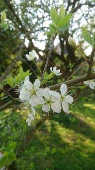 Tree, Nature, Flower, Branch