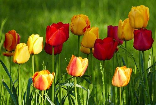 Nature, Landscape, Flowers, Tulips