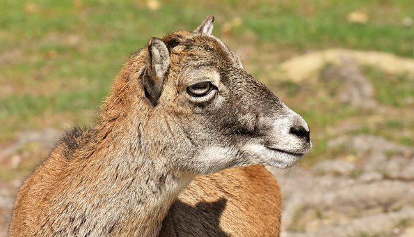 Mouflon, Wild Animal, European Mouflon, Ungulate