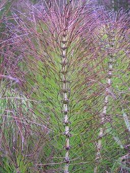 Natural, Wallpaper, Plant, Color, Horsetail