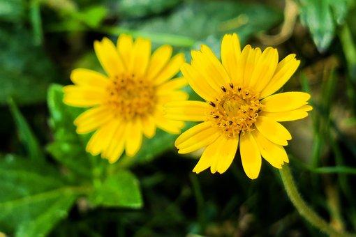 Wedelia, Nature, Flower, Plant, Petal, Summer, Bloom