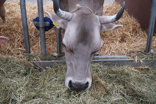 Cow, Eat, Hay, Agriculture, Farm, Cattle, Mammal