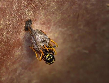 Nature, Animal, Insect, Wasp, Wasps, Close