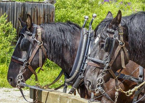 Horse, Animal, Mammal, Nature, Harness, Rural, Outdoor