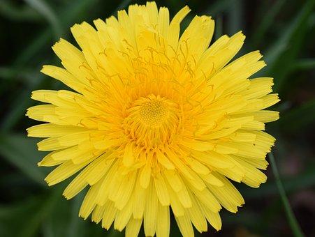Dandelion, Bee, Nectar, Bee Nectar, Macro, Close Up
