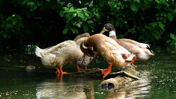 Bird, Duck, Nature, Animal, Body Of Water, Fauna, Pen