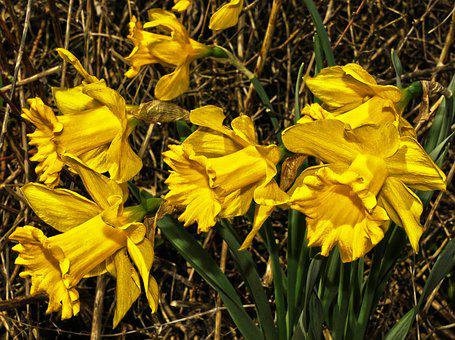 Osterglocken, Yellow Daffodils, Blossom, Bloom, Flower