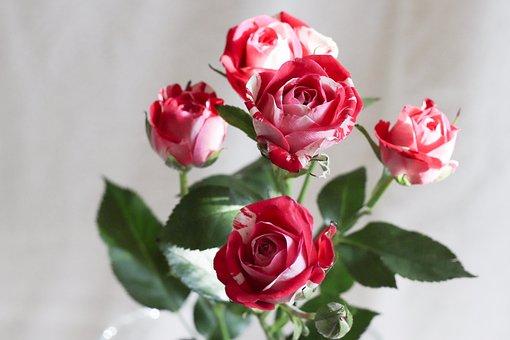Rose, Flower, Petal, Plant, Bouquet, Bud, Blooming