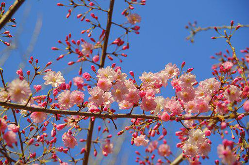 Branch, Flowers, Wood, Cherry, Blue Sky, Pink, Japan
