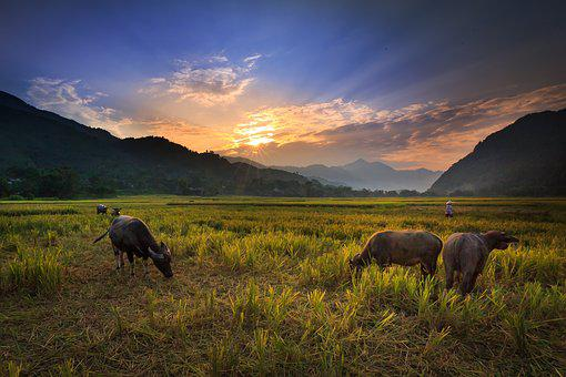 Buffalo On The Rice Field, Nice, Green, Background