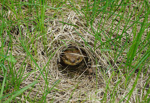Toad, Common Toad, Toad Migration, Amphibians, Spring